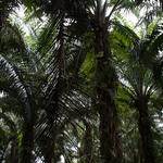 Oil palm plantation thumbnail