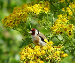 A fancy amongst the tansy (robbie20161) Tags: birds animals nature lora fauna jacobaeavulgaris goldfinch cardueliscarduelis bamburgh northumberland