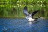 Swallow-Tailed Kites (Natureklicks by Liza Morffiz) Tags: swallow tailed kites skimming florida outoors birds nature wildlife