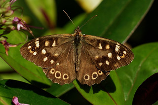 Speckled Wood-----Pararge aegeria