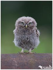 Little Owl Owlet (Pete Walkden) Tags: little owl owlet worcestershire workshop athene noctua