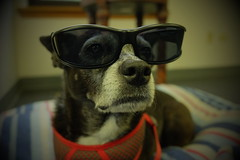 Mazie, at work. 23 (X70) (Mega-Magpie) Tags: fuji fujifilm x70 mazie sunglasses shades cool cute funny dog pet puppy