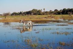 P7200516 (hugoholunder) Tags: südafrika botswana juli2017 zebra makgadikgadi national park