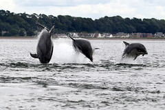 Wild & Free - Triple Breach (Ally.Kemp) Tags: moray firth bottlenose dolphins dolphin scottish scotland chanonry point fortrose rossshire rosemarkie wild free leaping jumping triple breach