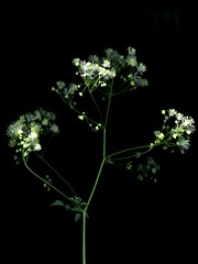 58483.01 Thalictrum polygamum (horticultural art) Tags: horticulturalart thalictrumpolygamum thalictrum flowers botanical