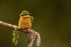 SOMALI BEE-EATER (dmberman1) Tags: eastafrica wildlife birds tarangirenationalpark animals tanzania africasafari birdsofprey raptor somalibeeeater