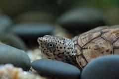 IMG_0049 (Laurent Lebois ©) Tags: laurentlebois france reptile rettile reptil рептилия tortue turtle tortoise tortuga tartaruga schildkröte черепаха chelonia sternotherus minor terrariophilie razorbackmuskturtle cinosterne