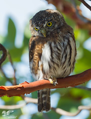 Keeping a Low Profile (Northern Pygmy Owl) (The Owl Man) Tags: