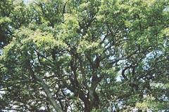 Oak tree 2 (avenwildsmith) Tags: film 35mm nature devon countryside analog analogue kodak retinette 1b grain england britain wild wilderness oak tree plant plants trees leaves 35mmfilm kodakretinette1b