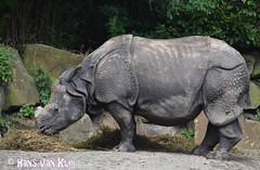 Sumatra Rino (myphotomailbox) Tags: rotterdam netherlands blijdorp zoo animal rino neushoorn rhinoceros كركدنيات badak nashörner renoster noshörningar gergedan носорог 犀牛 rhinocéros să̤ngiù næsehorn ρινόκεροσ rhinocerotidae orrszarvúfélék nashyrningur קרנפיים rinoceronte nosorożcowate