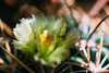 20150814-01842.jpg (tristanloper) Tags: macro tristanloper creativecommons cactus flower ferocactus ferocactusviridescens sandiego california sandiegocounty sandiegoca thewest thesouthwest sandiegocalifornia free