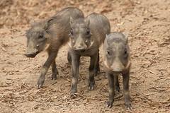 Three Little Piglets (San Diego Zoo Global) Tags: cute babyanimals piglet piglets adorable sandiego sandiegozoosafaripark warthog warthogs pigs swine family nature animals animal wildlife pig tusks