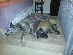 Ranger & Ella (BigBarker) Tags: greatdane canecorso 2