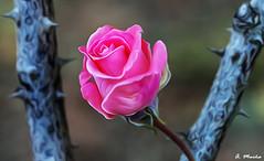 Rose among thorns. Rosa entre espinas (A. Muiña) Tags: flor rosarose thorns color garden jardín airelibre freshair naturaleza nature process proceso abstracto bokeh desenfoque flowers decoración macro nikon nikond800 macrofotografía planta