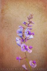 Spring Flower (stewartbaird) Tags: flowersplants macro newzealand art painting nature
