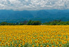 A Field of Sunflowers in Yamanashi, Japan (Nana* <salala817>) Tags: sunflower sunflowers akeno yamanashi japan flower flowers yellow 明野サンフラワーフェスティバル 山梨 ひまわり ヒマワリ ヒマワリ畑 ひまわり畑 夏 summer 花 黄色 akenosunflowerfestival