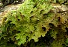 Lobaria pulmonaria (davidgenneygroups) Tags: lichen uk scotland lobariapulmonaria lobaria pulmonaria foliose corticolous lobarion