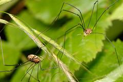 Harvestmen - Leiobunum rotundum m & f (Steve Balcombe) Tags: arachnid harvestman arachnida opiliones leiobunum rotundum male female woodland somerset uk