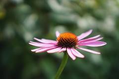 Embracing (tanyalinskey) Tags: plant open dof pink flower macro