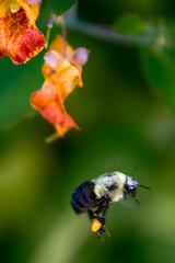 Mission Accomplished: Tamron 18-400mm (KWPashuk) Tags: nikon d7200 tamron18400mm lightroom nikcollection kwpashuk kevinpashuk bee insect flower pollen gathering nature outdoors depthoffield bronte creek oakville ontario canada