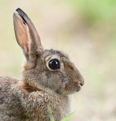 Lapin de garenne (guiguid45) Tags: nature sauvage animaux mammifères loiret d810 nikon 500mmf4 lapin affût lapindegarenne rabbit oryctolaguscuniculus