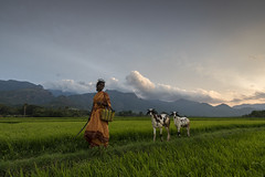 At Tenkasi (Ravikanth K) Tags: 500px villager woman work lady walking returning fields paddy goat evening sunset landscape green tenkasi tamilnadu india cwc chennaiweekendclickers orange outdoor pleasant serene countryside travel people cwc604