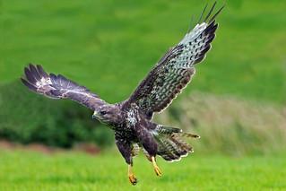 common buzzard (Explore)