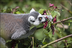 Ring Tailed Lemur (Darwinsgift) Tags: ring tailed lemur primate nikkor 200500mm f56 ed af e nikon d850 cotswold wildlife park
