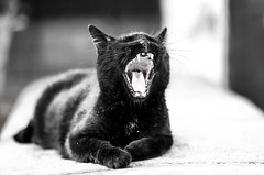 fade to black (Paul Wrights Reserved) Tags: cat black yawn boken outoffocus focus teeth sharp animal face nose ears wall