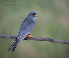Male Red Footed Falcon - Falco vespertinus (rosebudl1959) Tags: 2017 birds hungary maleredfootedfalcon hortobagy