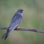 Male Red Footed Falcon - Falco vespertinus thumbnail