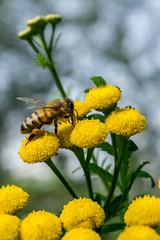 Rainfarn mit Biene (Richter.V) Tags: biene pflanze rainfarn
