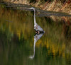 Refreshing bath (Millie (On and Off)) Tags: blue heron nature outdoors stoeversdampark lebanonpennsylvania reflections autumn bird lake water inspiredbylove saveearth tamron18400