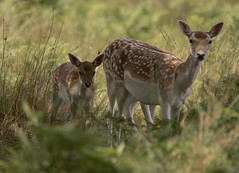 Fallow-Deer-3214 (Kulama) Tags: fallowdeer deer animals nature wildlife woods bracken fern grass calf summer canon7dmarkii sigma150600563c