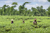Tea garden and worker-2 (Badal Sarker) Tags: tea teagarden sreemongol worker btri teaworker greentea womenworker agriculture agribd agriculturebangladesh