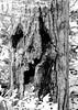 Creepy Tree (WpgWafna) Tags: kakabeka ontarioparks provincialparks canada150 camping nature waterfall