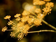 Golden Memory (barbara_donders) Tags: gouden flower bloem nature natuur bokeh simpel simplicity prachtig mooi magical beautifull summer zomer herinnering