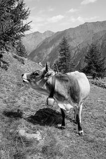 The cliche cow