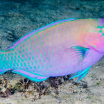 Palenose Parrotfish, terminal phase - Scarus psittacus thumbnail