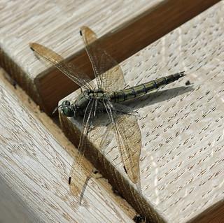 Skimmer Wings! [Explored!]
