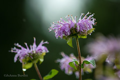 Wild Bergamot (cowgirljo78) Tags: bergamot beebalm purple nature colors rainy morning wildflower closeup soft wet field