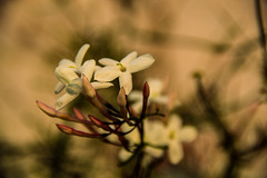 Jazmín estrellado (Lara Carro) Tags: jazmin estrellado flower white garden spring primavera flor blanco enredadera viento nature naturaleza natura natural macrofotografía planta