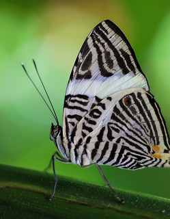 Zebra Mosaic Butterfly (Explored)