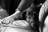 Best Friends (Explored) (KC Mike Day) Tags: daschund dog wiener hair black long daughter feet toes recliner chair lazy