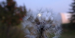 Dreamy view of the moon through a dandelion seedhead (peggyhr) Tags: peggyhr closeup moon dandelion seedhead trees bokeh subtle dsc07437d bluebirdestates alberta canada thegalaxy carolinasfarmfriends super~sixbronze☆stage1☆ soe