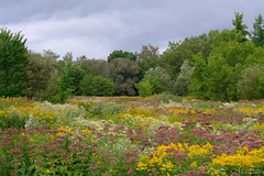 170824-09 Des champs fleuris (clamato39) Tags: fleurs flowers parclessaules villedequébec quebeccity provincedequébec québec canada nature outside ciel sky clouds nuages