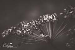 Sticking with Love (amndcook - trying to balance life. :)) Tags: amandacook bw flowersplants macro michigan outdoors spiritledphotography backlit blackwhite earlyfall latesummer monochrome outdoor outside pentax photo photograph plant season seed wildflower wildlife