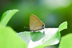 Slate Flash (sreejithkallethu) Tags: slateflash butterflies nature naturephotography butterfliesofkerala paravur kollam kerala