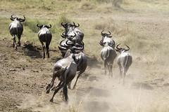 Migracao GNU - Travessia do Rio Mara 34 (Joao Pena Rebelo) Tags: tanzania gnus wildebeest migration safari serengeti wildebeests marariver