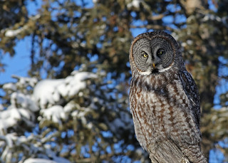 Great Gray Owl...#3